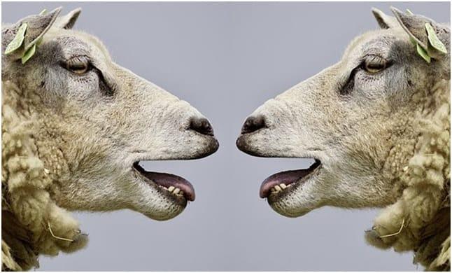 Pecore, Belare, Comunicazione